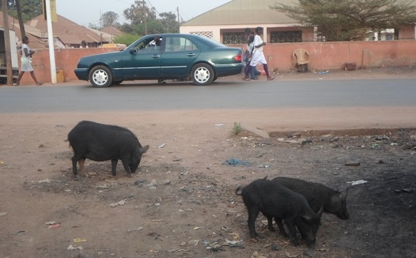 Cochons au bord d'une route - crédit photo Abdoulaye Barry